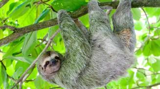 sloth-hanging